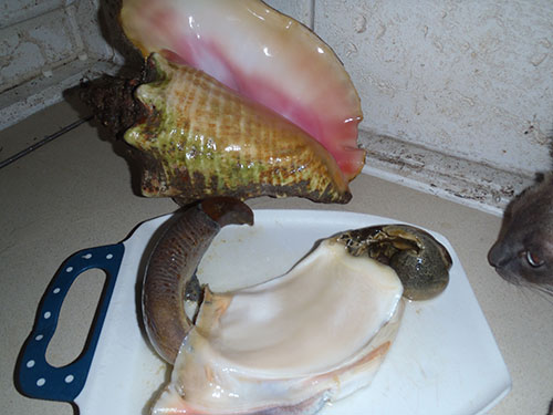 how to clean out a live conch shell